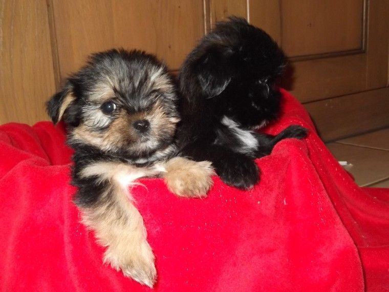 Yorkshire Terrier Puppies For Sale Arkansas 98 Emerson Township