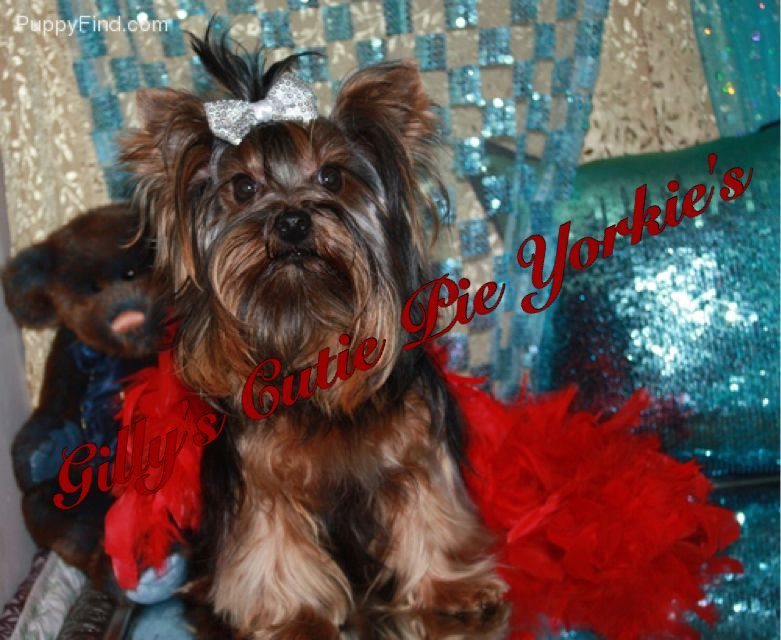 Yorkshire Terrier Puppies For Sale San Antonio Tx 179780