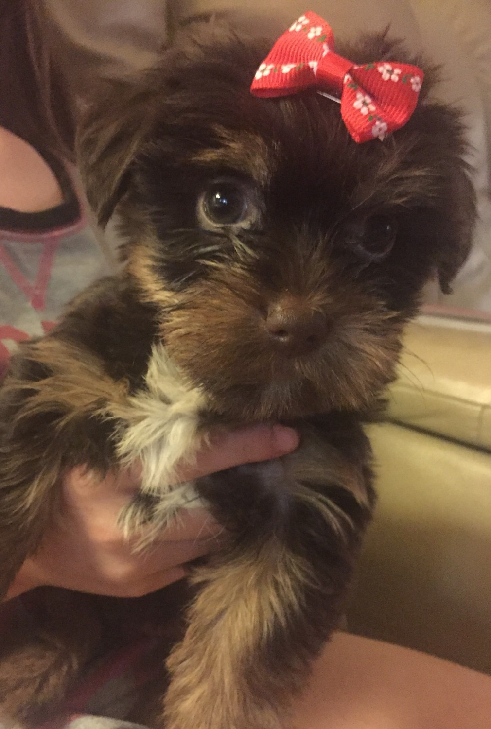 Yorkshire Terrier Puppies For Sale Temecula Ca 180326