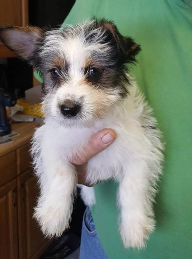 Yorkshire Terrier Puppies For Sale Harrison Mi 183760
