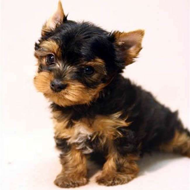 Yorkshire Terrier Puppies For Sale Illinois 59 Il 187336