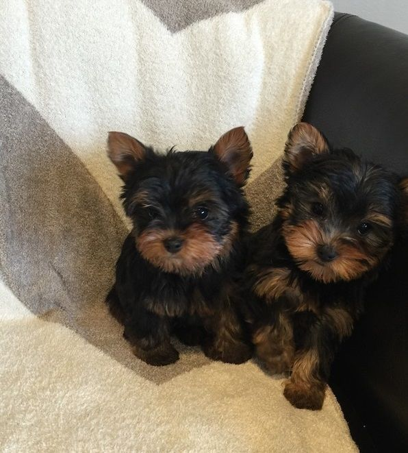yorkie puppies for sale sacramento ca yorkshire terrier puppies for sale sacramento ca 188879 2738