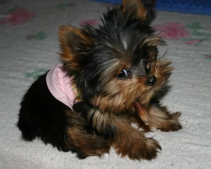 Yorkshire Terrier Puppies For Sale  Brooklyn, Ny 190968-7605