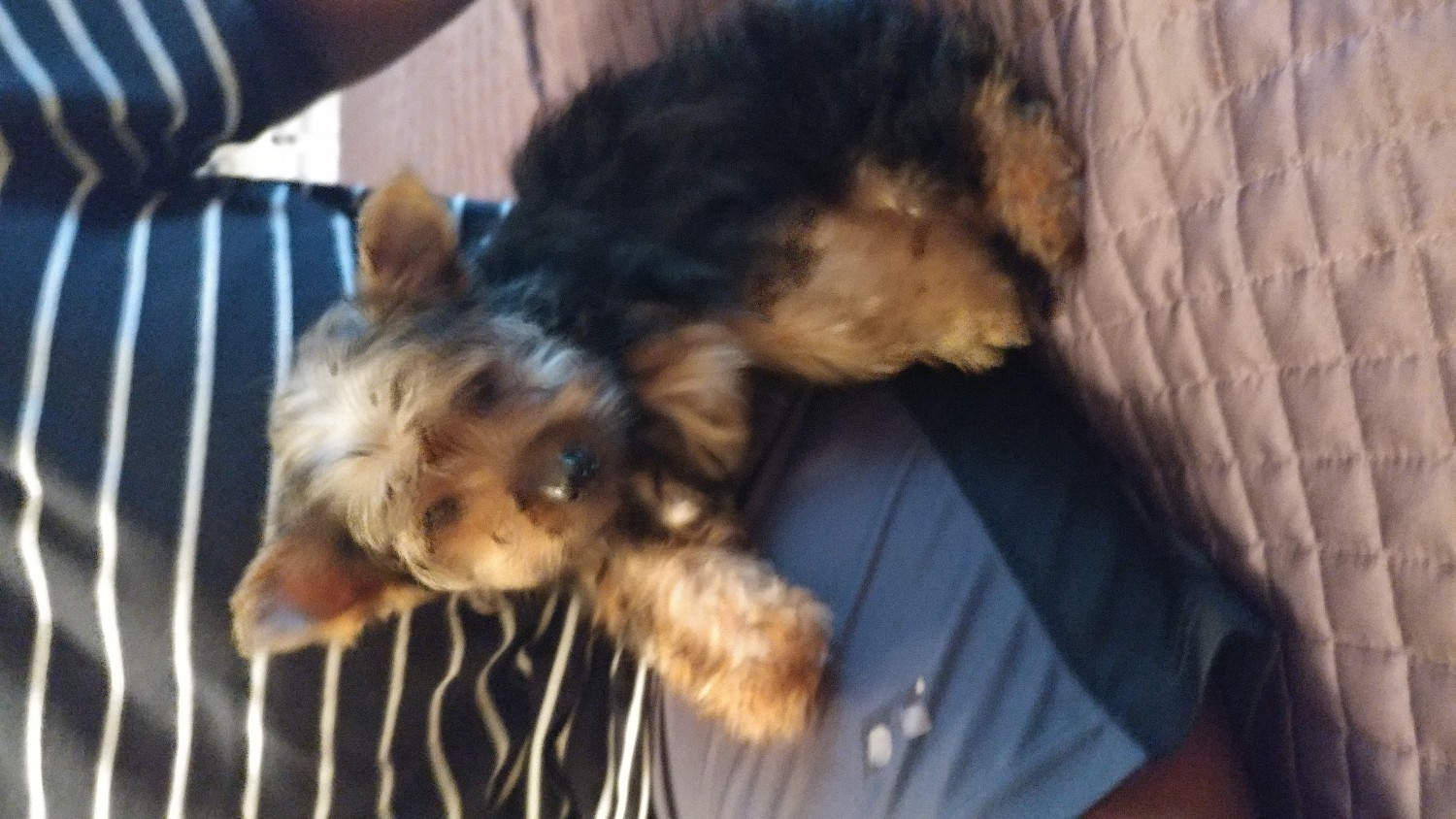 yorkie puppies for sale indianapolis yorkshire terrier puppies for sale indianapolis in 192417 1823