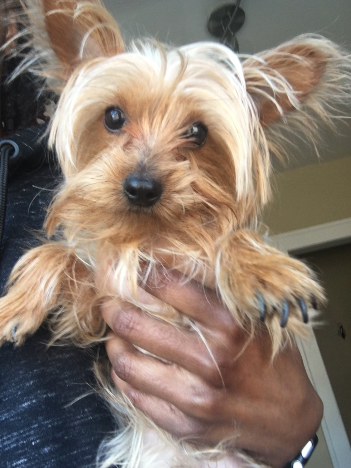 yorkie puppies for sale in michigan yorkshire terrier puppies for sale river rouge mi 195211 137