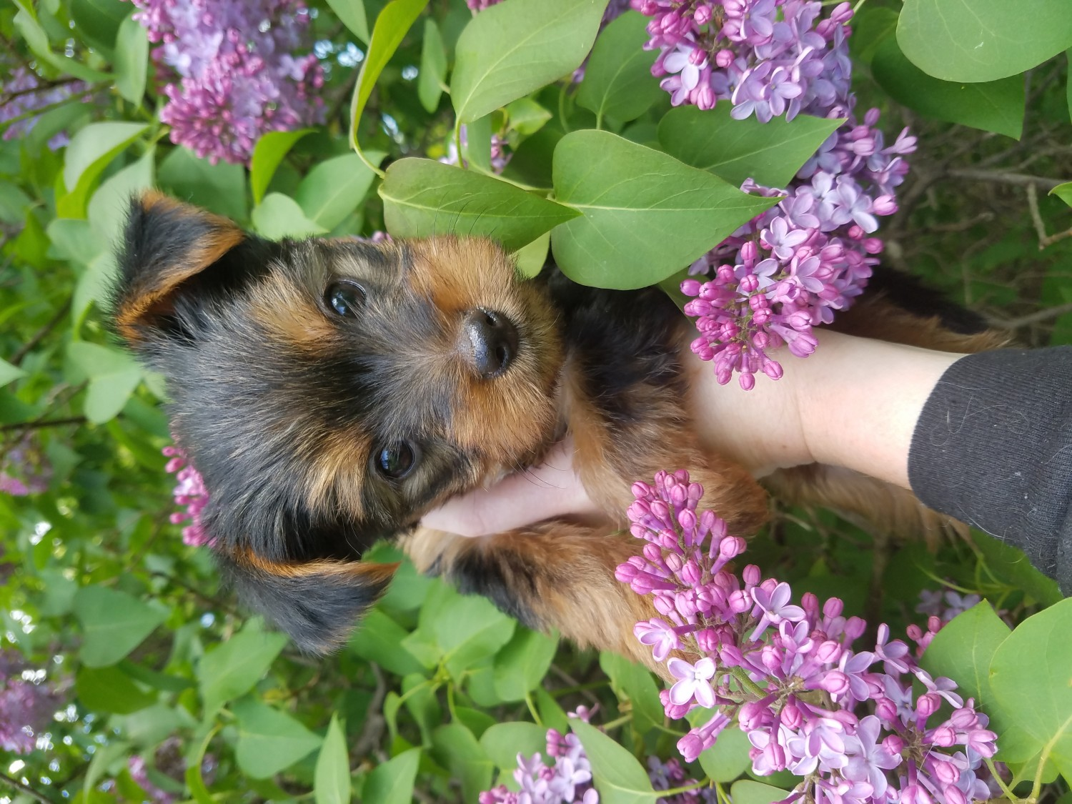 yorkshire terrier for sale mn yorkshire terrier puppies for sale albertville mn 196655 7153