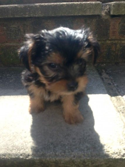 Yorkshire Terrier Puppies For Sale Bloomfield Nj 197148