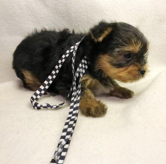 yorkie puppies for sale wilmington nc yorkshire terrier puppies for sale north carolina 54 nc 5092