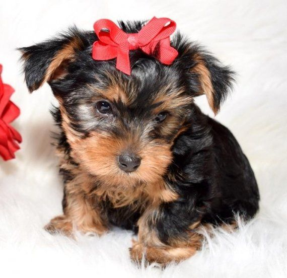 yorkie puppies for sale indianapolis yorkshire terrier puppies for sale indianapolis in 197767 2253
