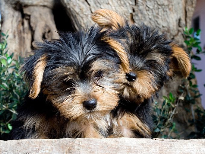 yorkie breeders in colorado yorkshire terrier puppies for sale colorado springs co 1580