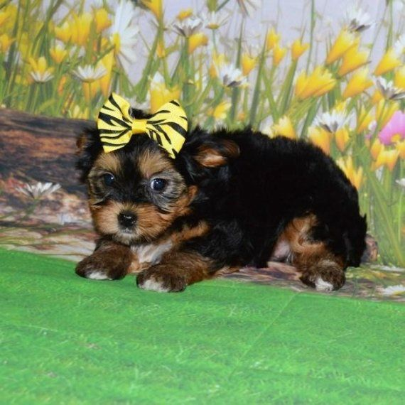 yorkie breeders in colorado yorkshire terrier puppies for sale colorado springs co 3277