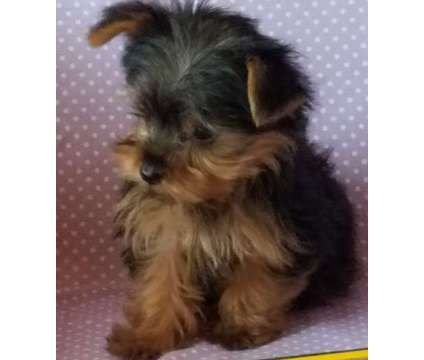 new york terrier yorkshire terrier puppies for sale new york ny 200123 6841