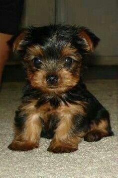 Yorkshire Terrier For Sale Virginia Beach