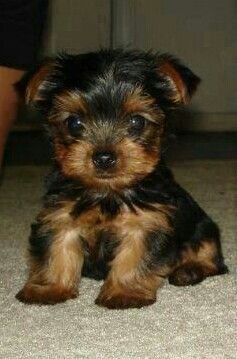 Yorkshire Terrier Puppies Virginia Beach