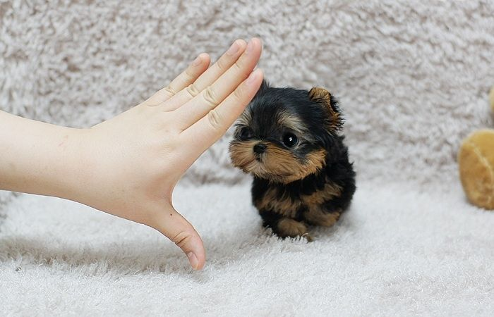 Yorkshire Terrier Puppies For Sale Los Angeles Ca 203760