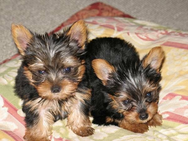 Yorkshire Terrier Puppies For Sale Los Angeles Ca 204642