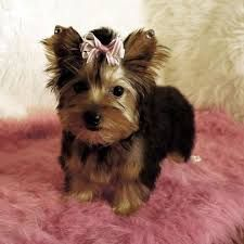 Teddy Bear Puppies For Sale In Virginia Beach