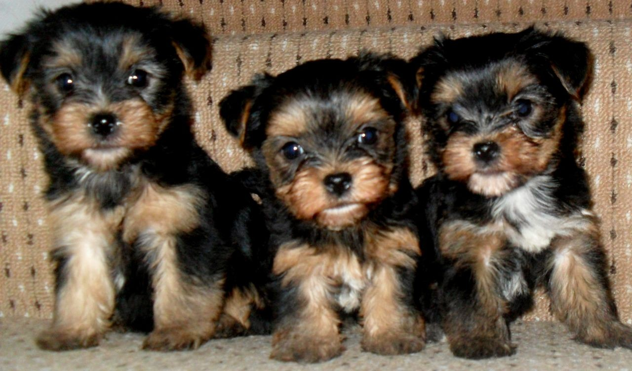 yorkie breeders in colorado yorkshire terrier puppies for sale colorado springs co 7001
