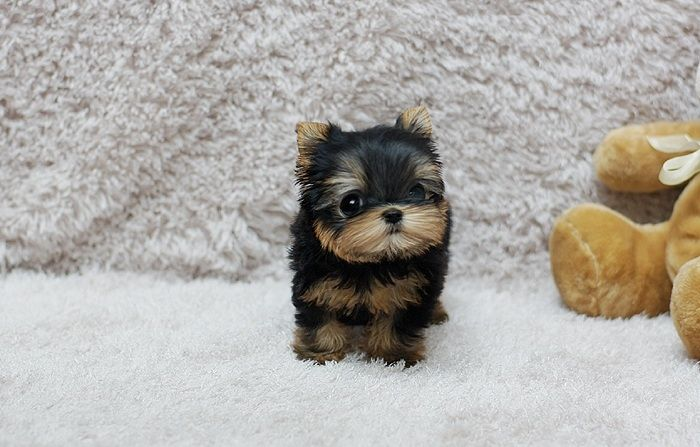 yorkie oklahoma yorkshire terrier puppies for sale oklahoma 66 ok 210536 6834