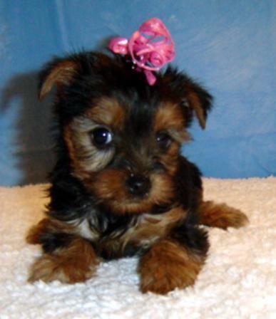 Yorkshire Terrier Puppies For Sale Virginia Beach Boulevard Va