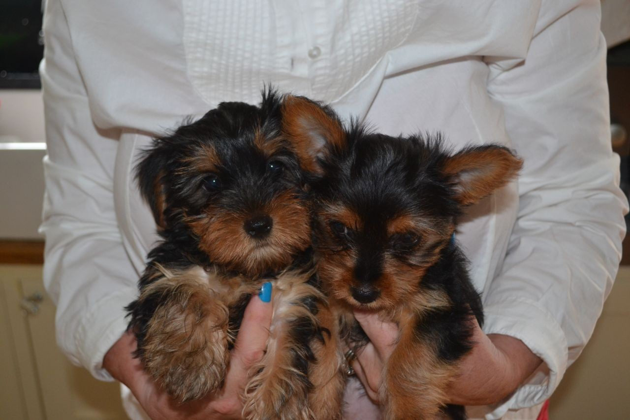yorkie puppies for sale indianapolis yorkshire terrier puppies for sale indianapolis in 213709 5136
