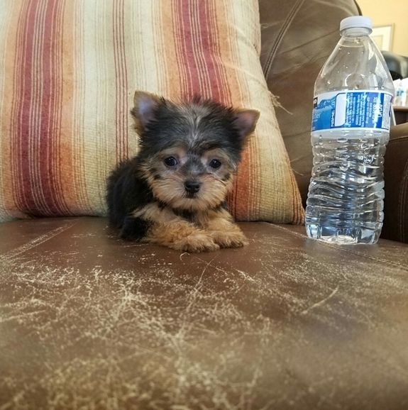 Yorkshire Terrier Puppies For Sale | Bozeman, MT #213758