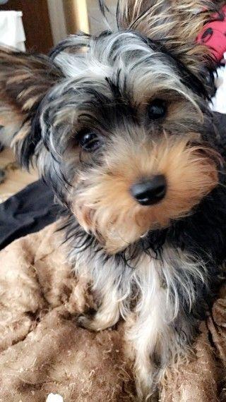 Yorkshire Terrier Nj Yorkshire Terri...