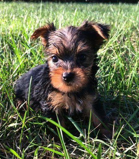 Yorkshire Terrier Puppies For Sale Newark Nj 214451