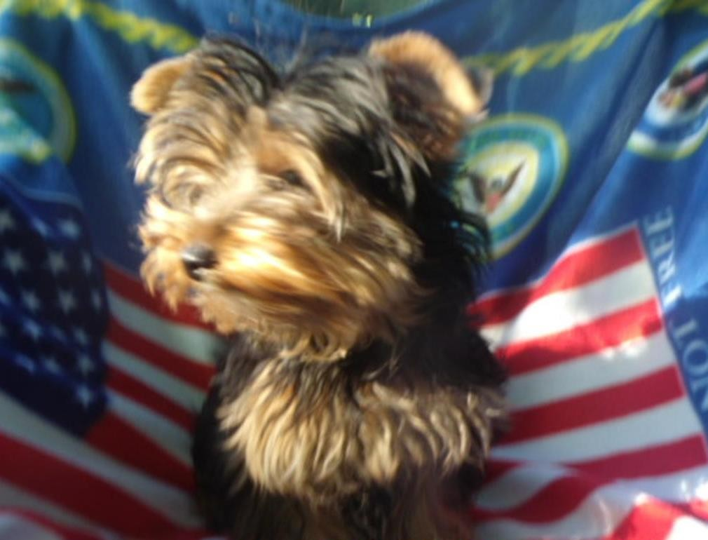 new york terrier yorkshire terrier puppies for sale new york ny 219602 7636