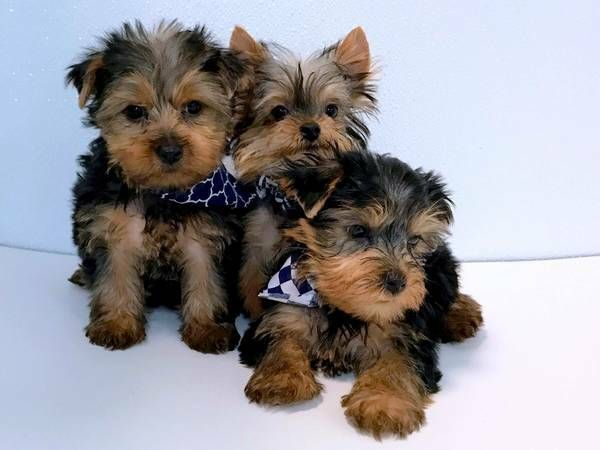 Yorkshire Terrier Puppies For Sale Minneapolis Mn 220757