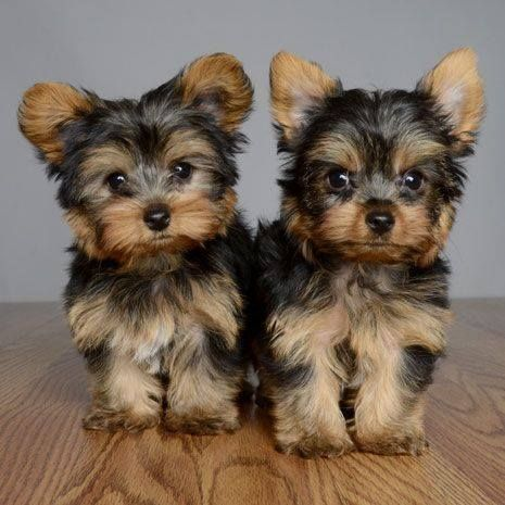 new york terrier yorkshire terrier puppies for sale new york ny 224151 268