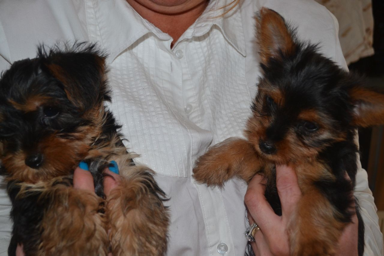 new york terrier yorkshire terrier puppies for sale new york ny 224918 5848