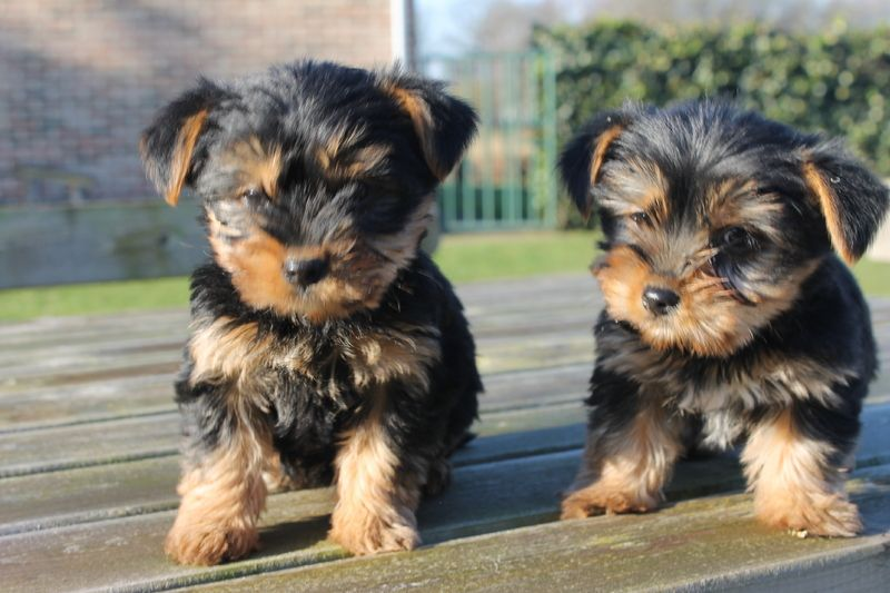 Yorkshire Terrier Puppies For Sale San Jose Ca 225163