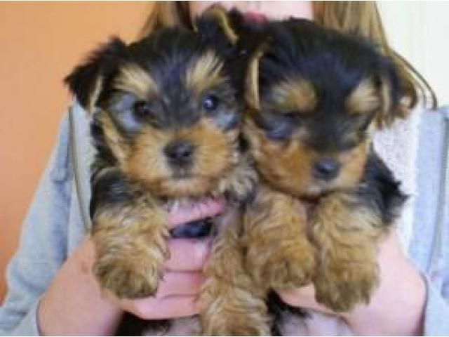 Yorkshire Terrier Puppies For Sale In Va Beach