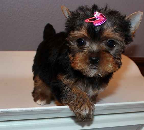 new york terrier yorkshire terrier puppies for sale new york ny 230475 131