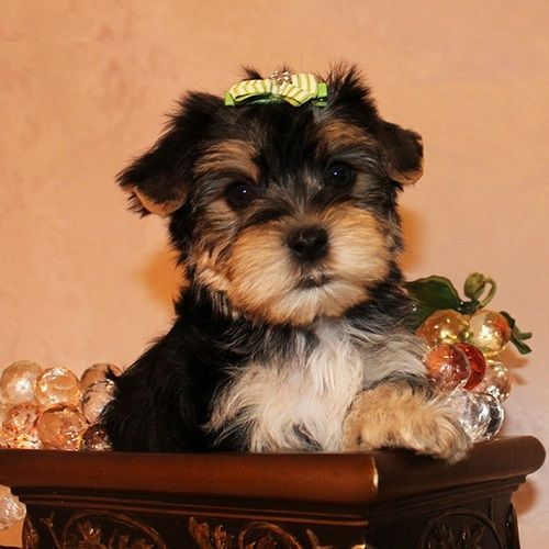 Yorkshire Terrier Puppies For Sale  San Francisco, CA #232813