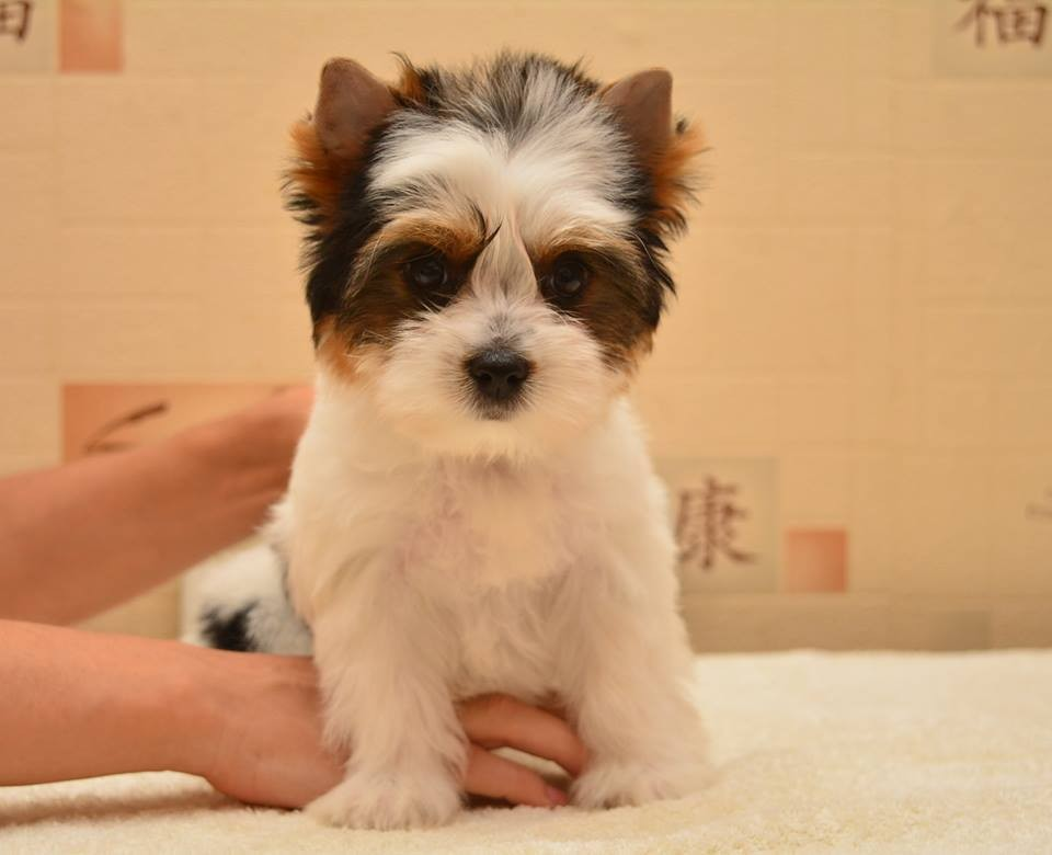 Yorkshire Terrier Puppies For Sale Virginia Avenue Ga 233828