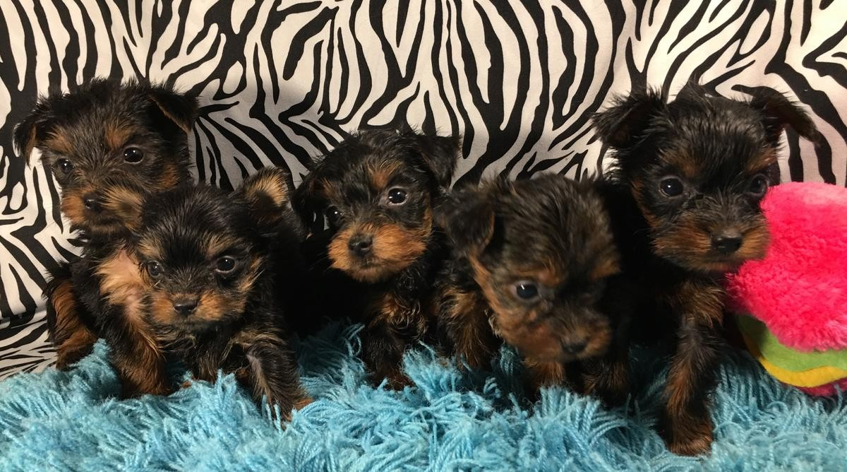 Yorkshire terrier puppies for sale houston