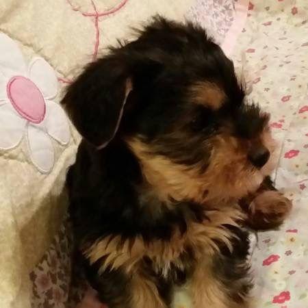 Yorkshire Terrier Puppies For Sale Atlanta Ga 241836
