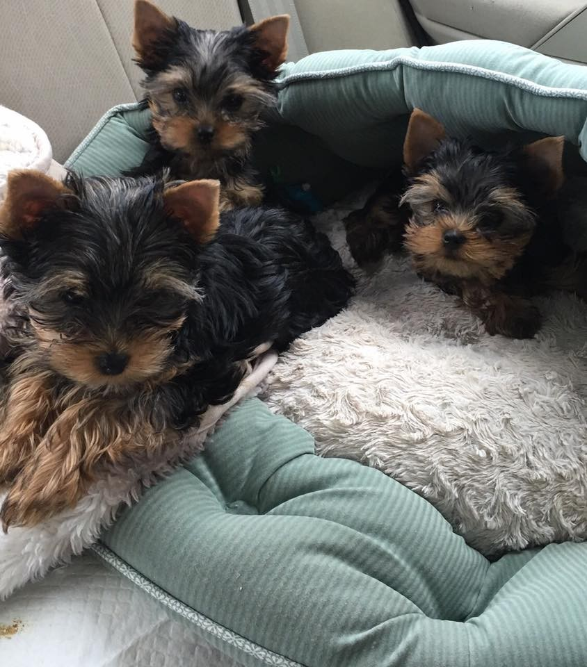 yorkie breeders washington state yorkshire terrier puppies for sale washington dc 242771 8829