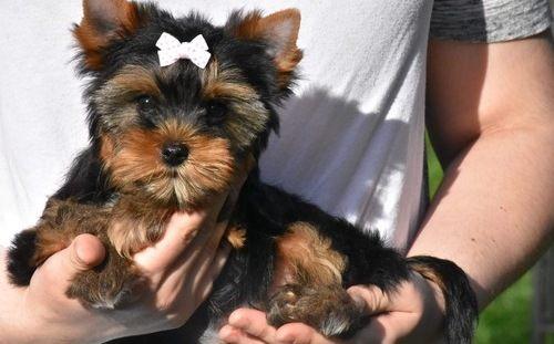 Yorkshire Terrier Puppies For Sale Arkansas City Ar 246782