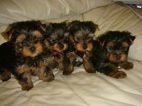 yorkie oklahoma yorkshire terrier puppies for sale oklahoma city ok 247741 273