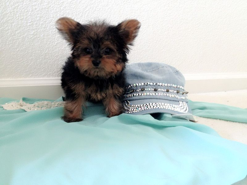 Yorkshire Terrier Puppies For Sale San Leandro Ca 249691