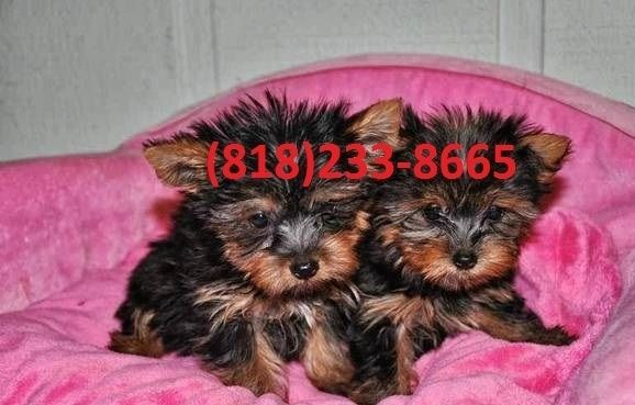 Yorkshire Terrier Puppies For Sale Los Angeles Ca 250771