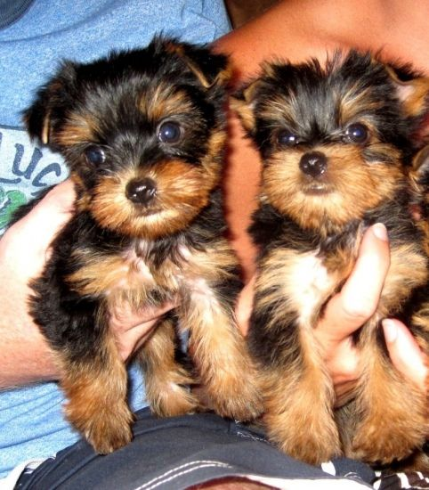 yorkie puppies for sale sacramento ca yorkshire terrier puppies for sale sacramento ca 251526 5815