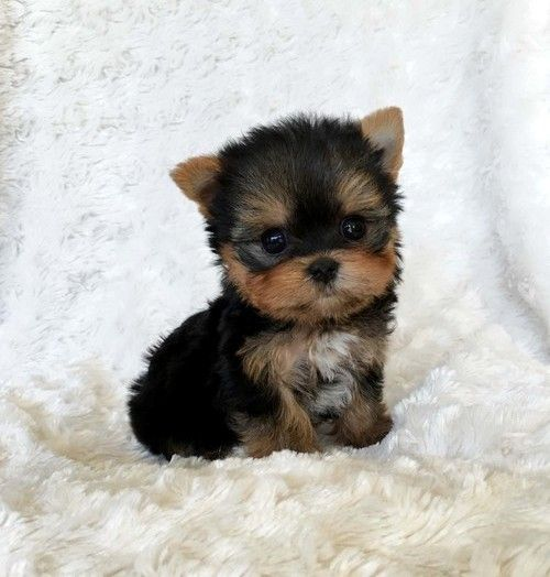 yorkie puppies for sale in michigan yorkshire terrier puppies for sale marlette mi 252216 692