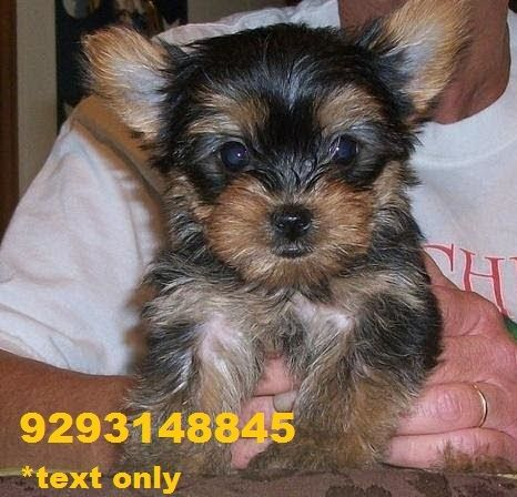 yorkie puppies for sale indianapolis yorkshire terrier puppies for sale indianapolis in 256663 9393