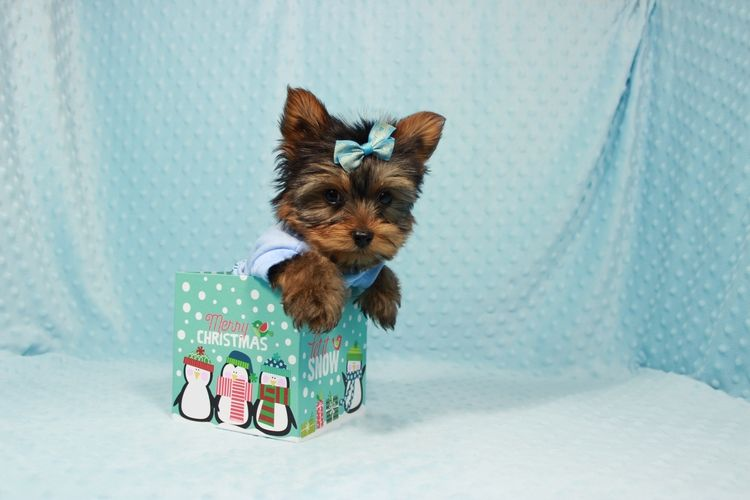 Yorkshire Terrier Puppies For Sale Chicago Il 259184