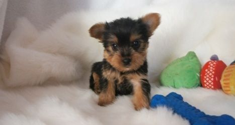yorkie puppies for sale in philadelphia yorkshire terrier puppies for sale northeast 4579