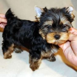 yorkie puppies for sale in richmond va yorkshire terrier puppies for sale richmond va 262439 238